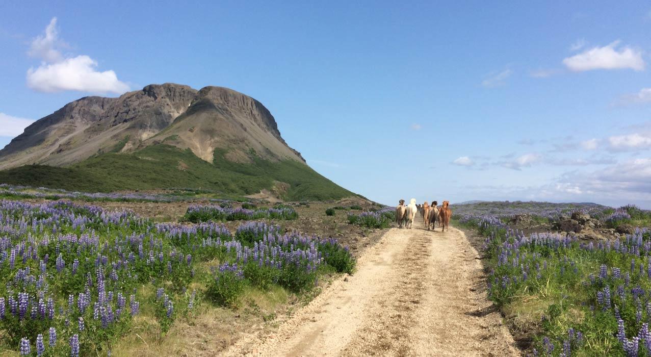 Pferde auf der Reittour goldener Kreis in Island