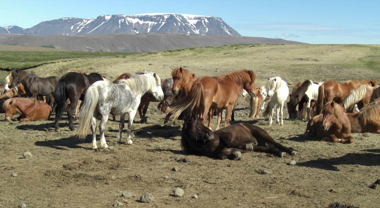 Pferde auf der Reittour Kjölur im Hochland Islands