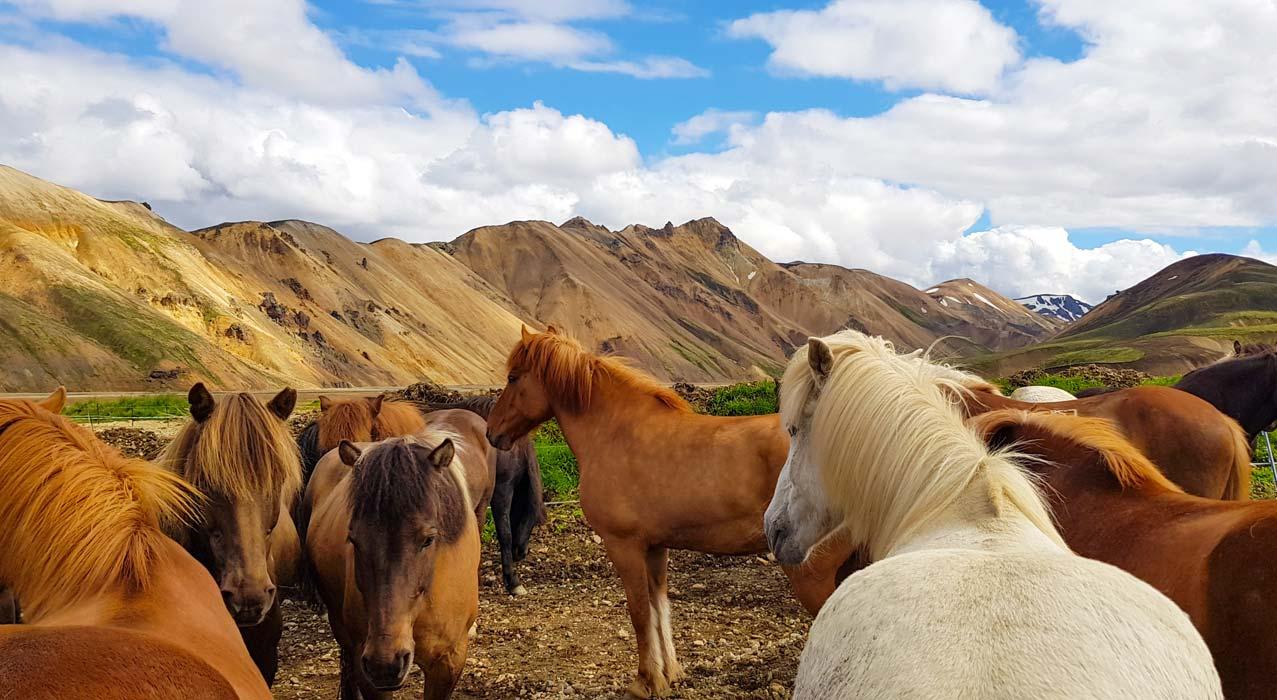 Pferdeherde auf der Reittour Landmannalaugar im Hochland Islands